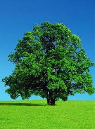 درخت سر سبز