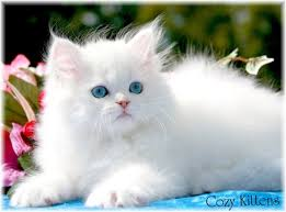 Persian-Cat2.jpg