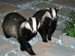 Reprieve for Welsh Badgers