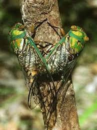 The Summer of Singing Cicadas