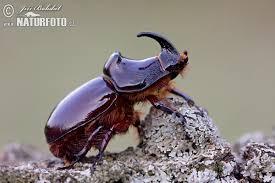 Kumbang Badak Eropa