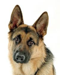 [Image: german_shepherd_dog.jpg&amp;amp;t=1&amp;...Rd--6H-r0=]