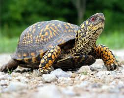 turtle,لاك پشت