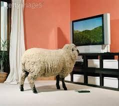 Oveja viendo la tele