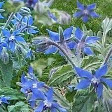 Borago officinalis 'lb' /