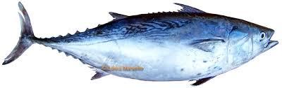 défense des Animaux aquatique Thon-rouge