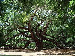 live oaks in Georgetown,