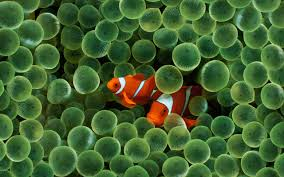 external image clown-fish.jpg