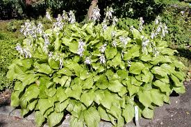 Hosta 'Royal Standard' /