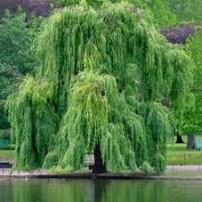 عکس درخت مجنون