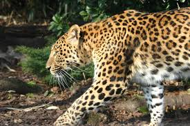 http://t3.gstatic.com/images?q=tbn:q4J_EGbn4KZT0M:http://www.freemages.fr/album/animaux/panthere_de_chine.jpg