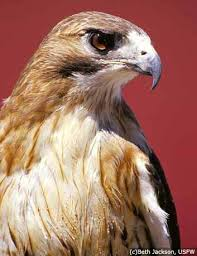 Psychopath of the Week/Month Red-tailed_Hawk_lg2