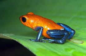 Costa Rica Poison Dart Frog
