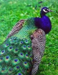 Peacocks are beautiful birds.