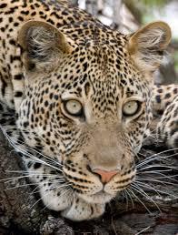 external image leopard2.jpg