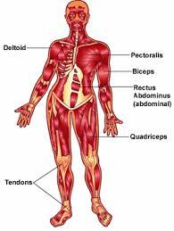 العضلة