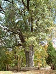 درخت تابستانی