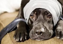 Cómo actuar ante una intoxicación en perros.