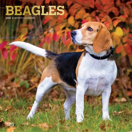 BrownTrout Beagles 2020 Wall Calendar