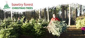 Christmas Tree Species Name by Christmas Trees At Bawtry Forest Doncaster Yorkshire And Botany