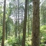 ヒノキ, 樹齢, 登記, 相模原市, 津久井町, 立木, 特別地方公共団体