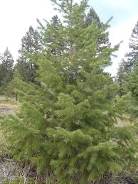 Colorado Springs Christmas Tree Permits by Pike And San Isabel National Forests Cimarron And Comanche