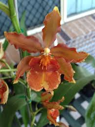 Best Pumpkin Patch Richmond Va by Odontocidium Catatante U201c Pumpkin Patch U201c This Is My Orchid