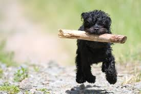 Tiny Non Shedding Dog Breeds by The Good The Bad The Fluffy Best And Worst Dog Hybrids More Com