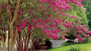 Christmas Tree Species Name by The Complete Guide To Crepe Myrtle Trees Southern Living