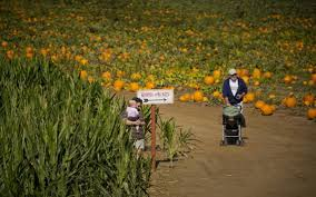 White Oak Pumpkin Patch by Find Perfect Pumpkin At Sacramento Area Patches The Sacramento Bee