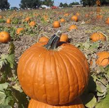 Free Pumpkin Patches In Colorado Springs by Harvest Festival