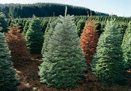 Christmas Tree Species Name by Your Christmas Tree Has Lived Through One Hell Of An Adventure