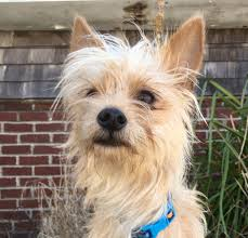 Blue Heeler Shedding In Winter by Terrier Archives Rocket Dog Rescue