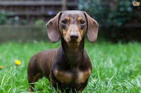 Tiny Non Shedding Dog Breeds by Miniature Dachshund Dog Breed Information Buying Advice Photos