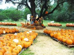 Free Pumpkin Patch Houston Tx by Pumpkin Patch