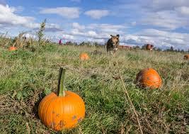Pumpkin Patch North Bend Oregon by Redmond Spokesman October 2017