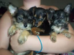 Tiny Non Shedding Dog Breeds by Great Small Dog Mixed Breeds Dog Breeds Puppies Types Of Small