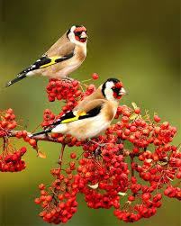 بالصور اجمل واروع انواع العصافير اجمل العصافير الرومانسية وصور عصفور الحب لتكون اجمل خلفيات 2018 تظهر ابداع الخالق