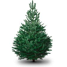 Christmas Tree Species Name by Non Drop Christmas Trees Pines And Needles