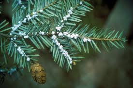 Christmas Tree Has Aphids by An Index Of Common Tree Insect Pests