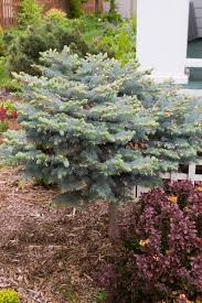 Pahls Pumpkin Patch by Globe Blue Spruce Patio Tree Plant Library Pahl U0027s Market