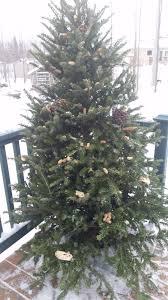 Christmas Tree Has Aphids by Jensen Nursery