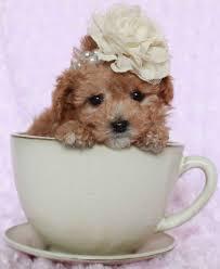Tiny Non Shedding Dog Breeds by Maltipoo Designer Dog Breed Maltese Poodle Hybrid Cutest