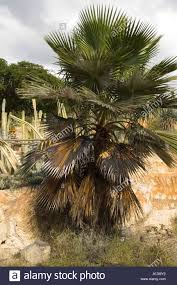 Christmas Tree Has Aphids by Palm Tree Disease Stock Photos U0026 Palm Tree Disease Stock Images