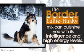 Blue Heeler Shedding In Winter by Lesser Known Personality Traits Of The Border Collie Husky