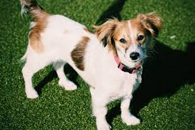 Tiny Non Shedding Dog Breeds by Mixed Breed Dogs The 13 Cutest Mixed Breed Dogs