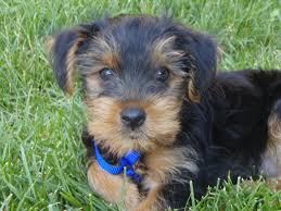 Tiny Non Shedding Dog Breeds by All About Yorkies