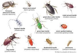 coleopteran insect britannica com