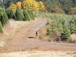 Christmas Tree Has Aphids by Feldman Tree Farm Bethel Heights Vineyard