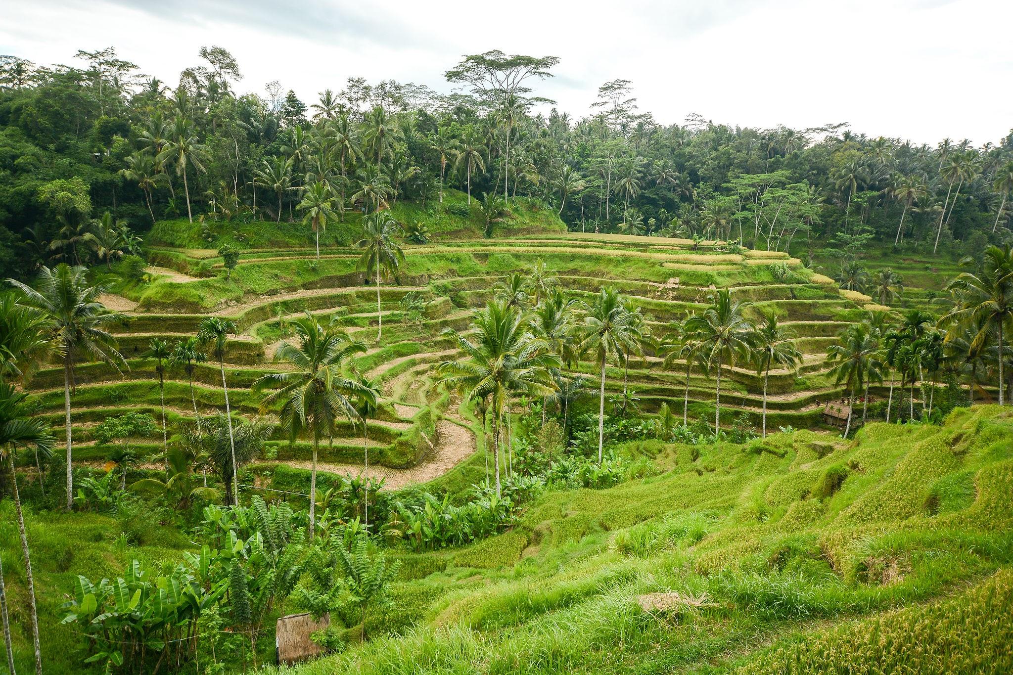 Tegallaland Rice Terrace